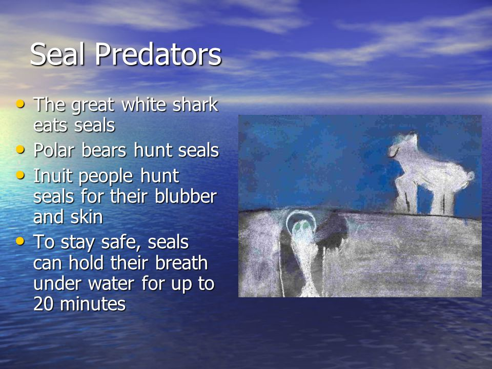 Seal Predators The great white shark eats seals The great white shark eats seals Polar bears hunt seals Polar bears hunt seals Inuit people hunt seals for their blubber and skin Inuit people hunt seals for their blubber and skin To stay safe, seals can hold their breath under water for up to 20 minutes To stay safe, seals can hold their breath under water for up to 20 minutes