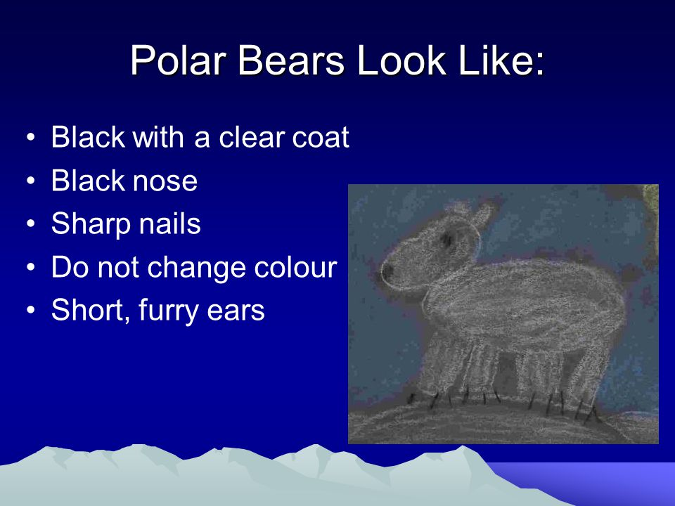 Polar Bears Look Like: Black with a clear coat Black nose Sharp nails Do not change colour Short, furry ears