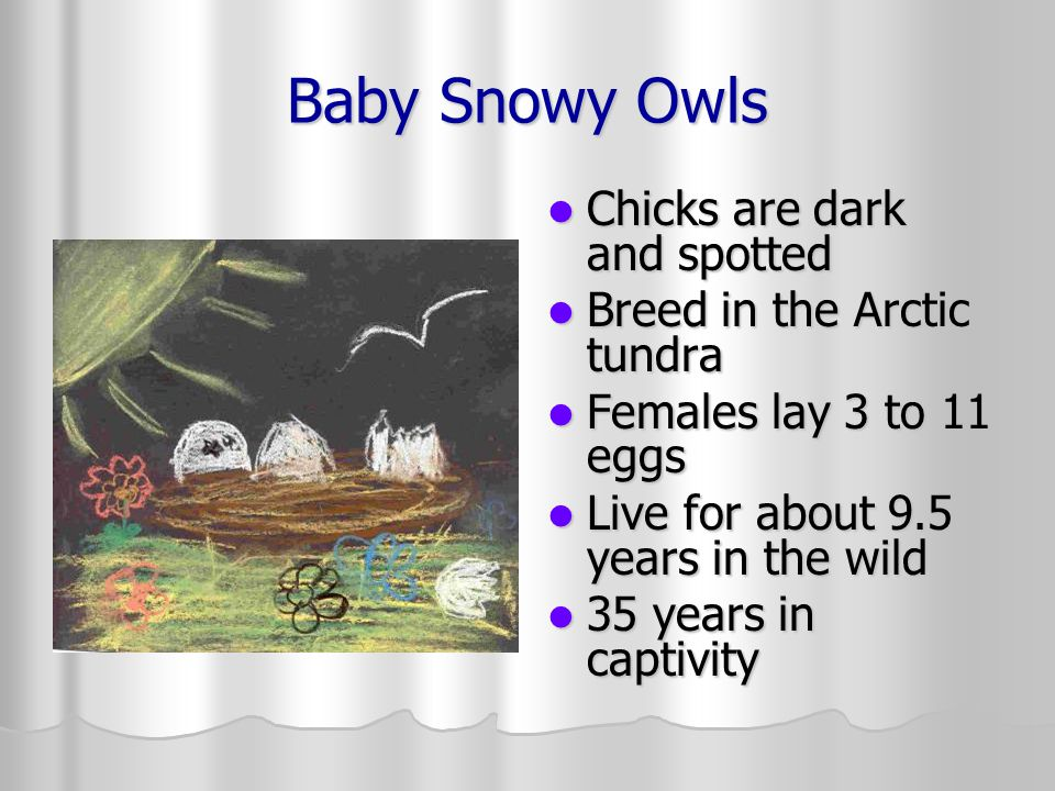 Baby Snowy Owls Chicks are dark and spotted Chicks are dark and spotted Breed in the Arctic tundra Breed in the Arctic tundra Females lay 3 to 11 eggs Females lay 3 to 11 eggs Live for about 9.5 years in the wild Live for about 9.5 years in the wild 35 years in captivity 35 years in captivity
