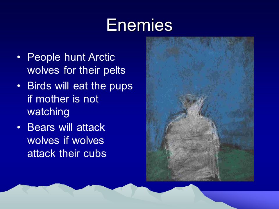 Enemies People hunt Arctic wolves for their pelts Birds will eat the pups if mother is not watching Bears will attack wolves if wolves attack their cubs