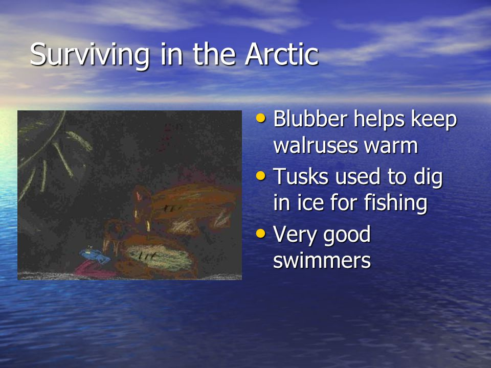 Surviving in the Arctic Blubber helps keep walruses warm Blubber helps keep walruses warm Tusks used to dig in ice for fishing Tusks used to dig in ice for fishing Very good swimmers Very good swimmers
