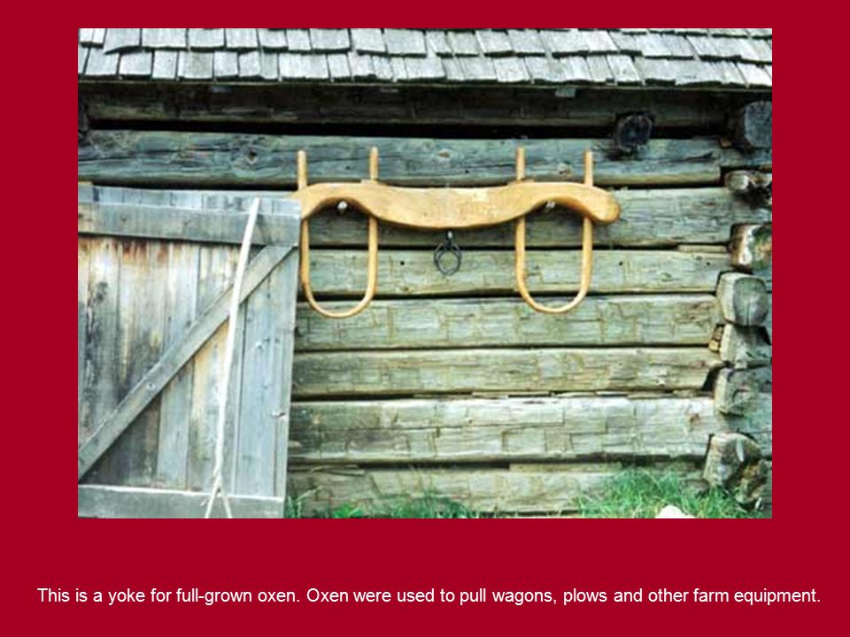 This is a yoke for full-grown oxen. Oxen were used to pull wagons, plows and other farm equipment.