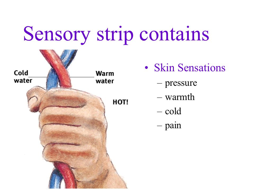 Motor and Sensory Strips Homunculus