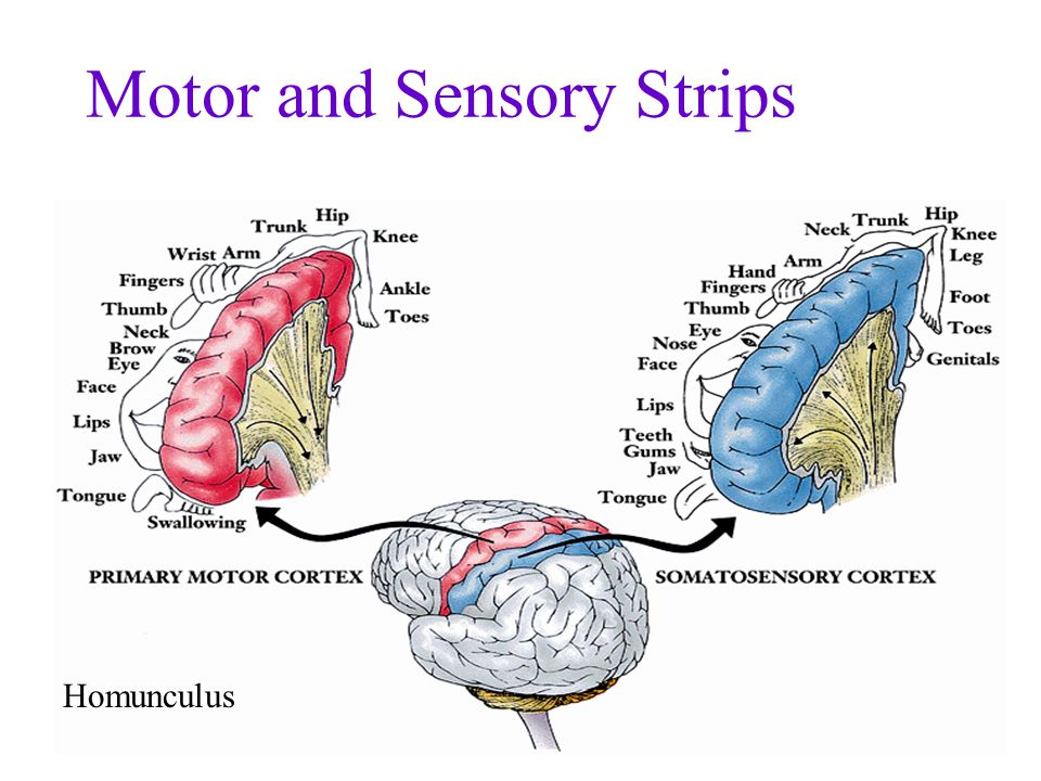 Also on sensory strip are Kinesthesis –the system for sensing the position and movement of individual body parts Vestibular Sense –the sense of body movement and position –including the sense of balance