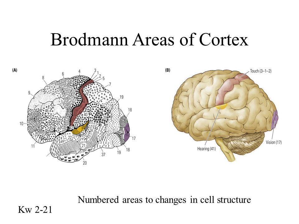 Korbinian Brodmann 1868-1918 Neurologist Research suggested by Alois Alzheimer Mapped the cell structure of the brain 52 discrete areas First complete and accurate map (1909)