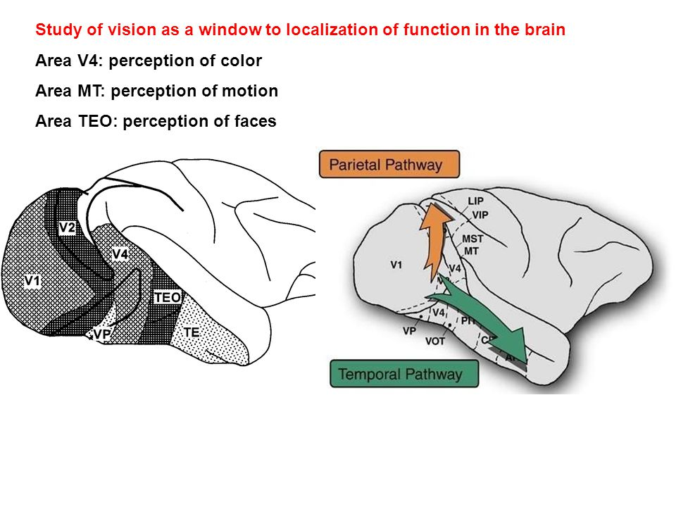 Study of vision as a window to localization of function in the brain Area V4: perception of color Area MT: perception of motion Area TEO: perception of faces