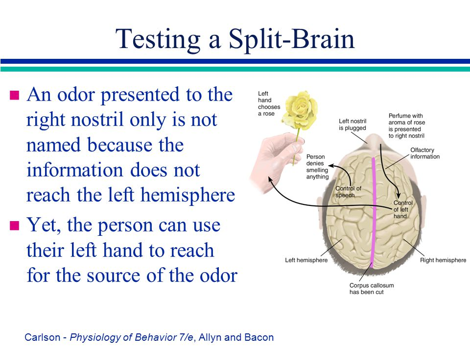 Carlson - Physiology of Behavior 7/e, Allyn and Bacon Testing a Split-Brain n An odor presented to the right nostril only is not named because the inf