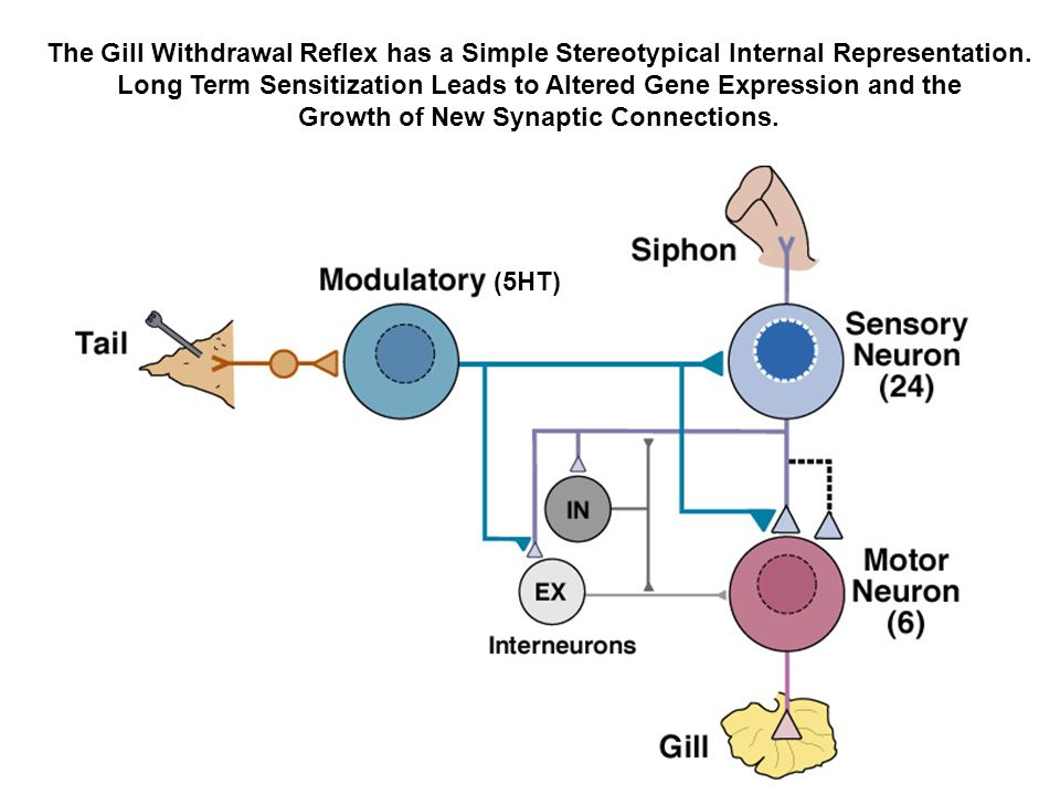The Gill Withdrawal Reflex has a Simple Stereotypical Internal Representation. Long Term Sensitization Leads to Altered Gene Expression and the Growth