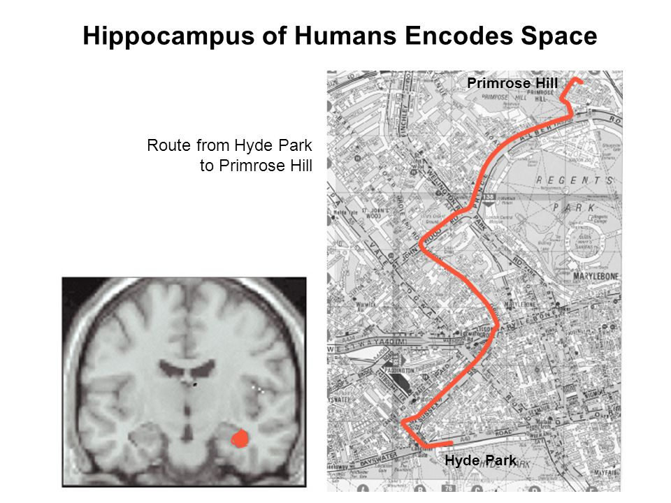 Hippocampus of Humans Encodes Space Route from Hyde Park to Primrose Hill Hyde Park Primrose Hill