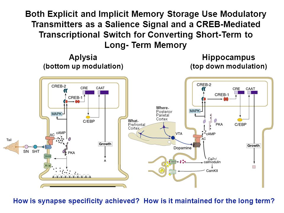 Both Explicit and Implicit Memory Storage Use Modulatory Transmitters as a Salience Signal and a CREB-Mediated Transcriptional Switch for Converting S