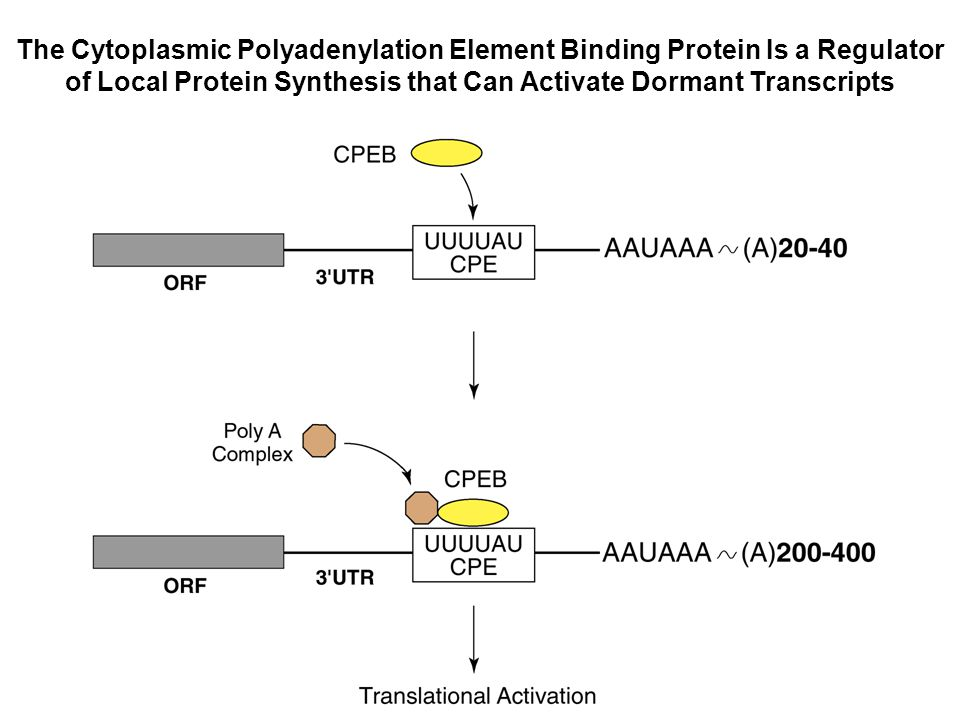 The Cytoplasmic Polyadenylation Element Binding Protein Is a Regulator of Local Protein Synthesis that Can Activate Dormant Transcripts