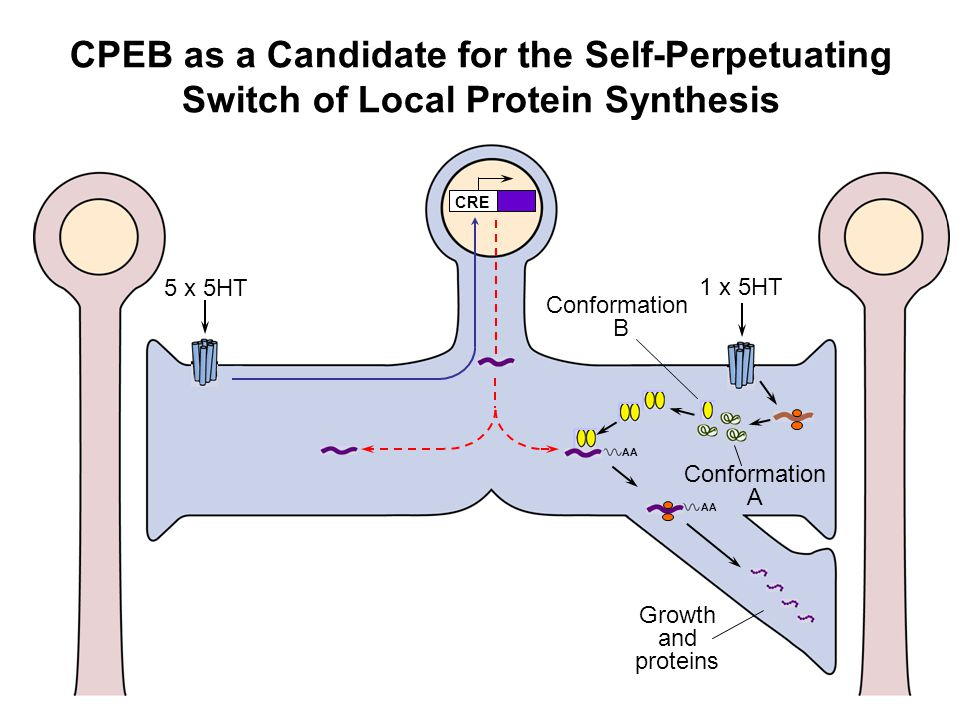 CPEB as a Candidate for the Self-Perpetuating Switch of Local Protein Synthesis AA Growth and proteins AA CRE 5 x 5HT 1 x 5HT Conformation A Conformat
