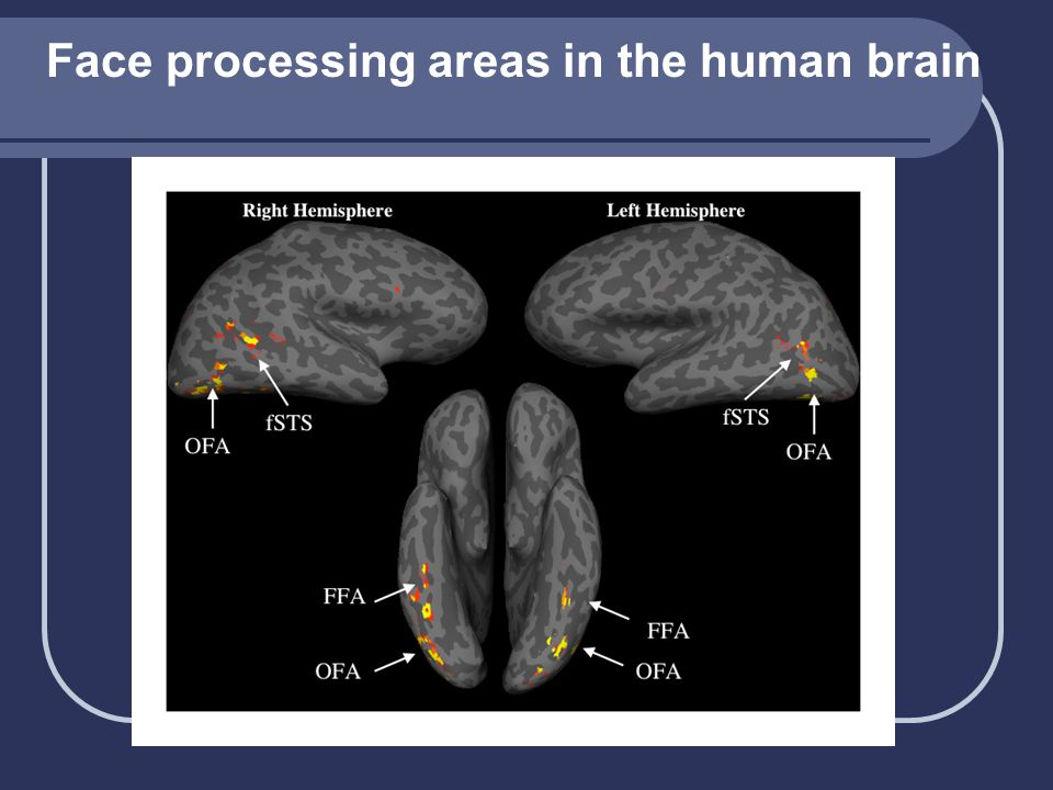 Face processing areas in the human brain