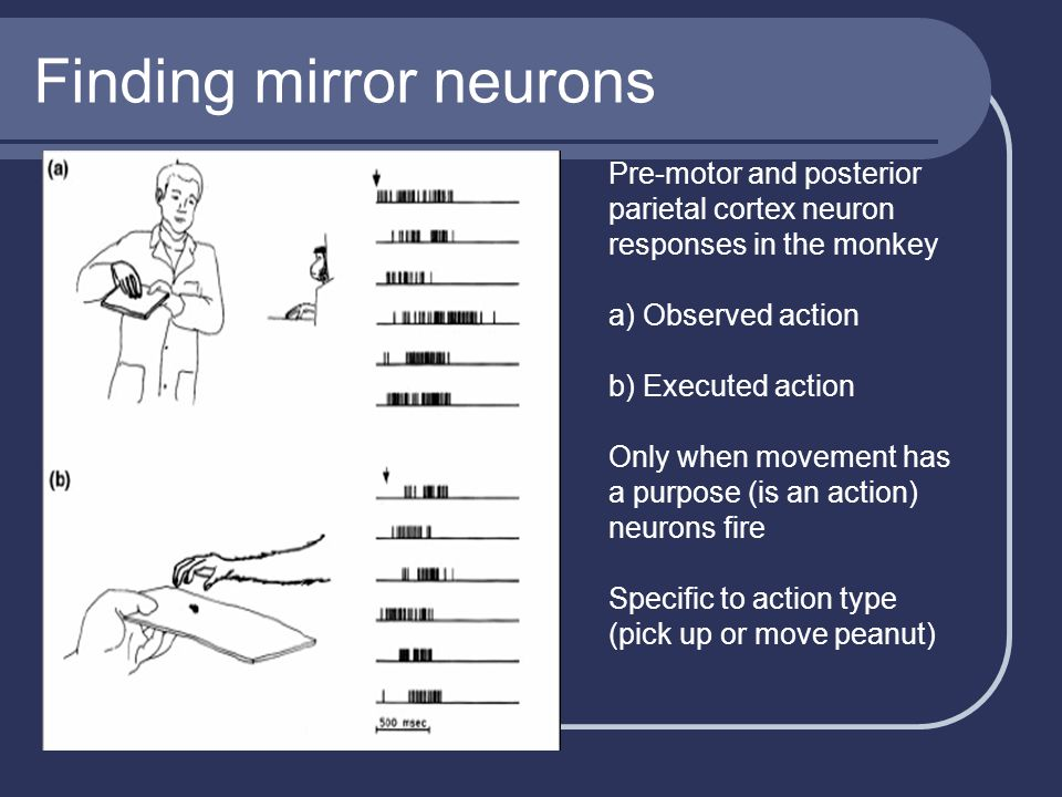Finding mirror neurons Pre-motor and posterior parietal cortex neuron responses in the monkey a) Observed action b) Executed action Only when movement has a purpose (is an action) neurons fire Specific to action type (pick up or move peanut)