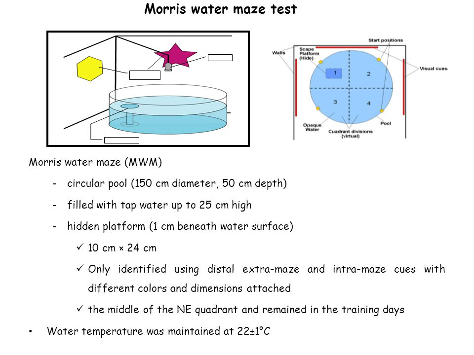 Morris water maze test Morris water maze (MWM) -circular pool (150 cm diameter, 50 cm depth) -filled with tap water up to 25 cm high -hidden platform (1 cm beneath water surface) 10 cm × 24 cm Only identified using distal extra-maze and intra-maze cues with different colors and dimensions attached the middle of the NE quadrant and remained in the training days Water temperature was maintained at 22±1°C