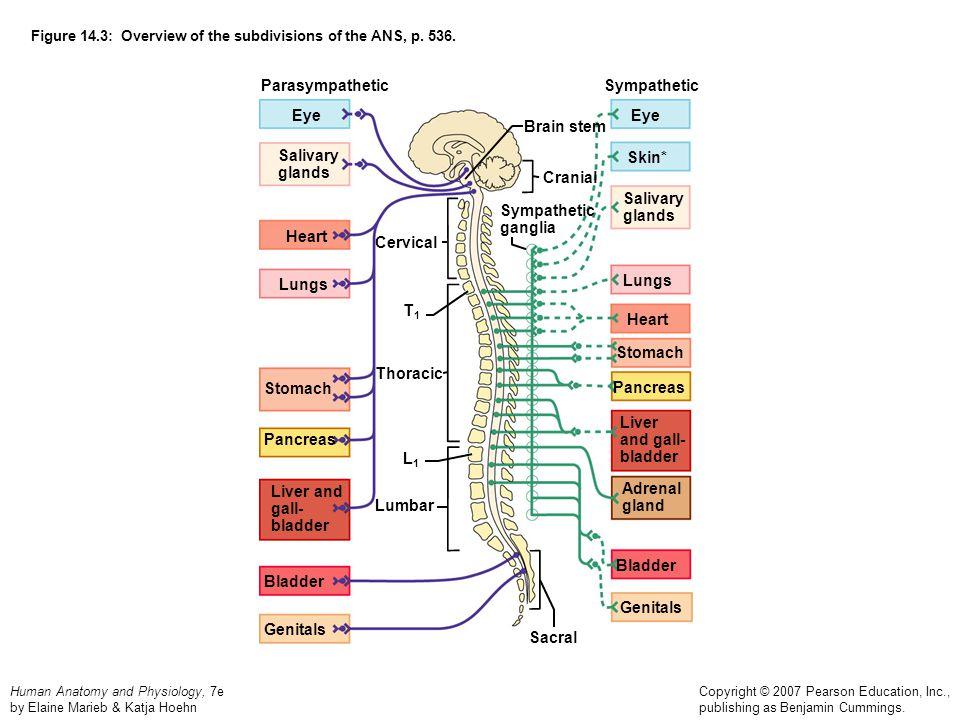 Human Anatomy and Physiology, 7e by Elaine Marieb & Katja Hoehn Copyright © 2007 Pearson Education, Inc., publishing as Benjamin Cummings. Figure 14.3
