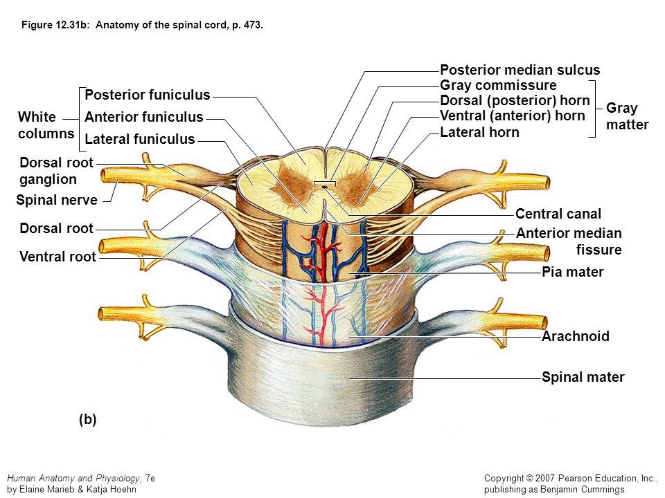 Human Anatomy and Physiology, 7e by Elaine Marieb & Katja Hoehn Copyright © 2007 Pearson Education, Inc., publishing as Benjamin Cummings. Figure 12.3