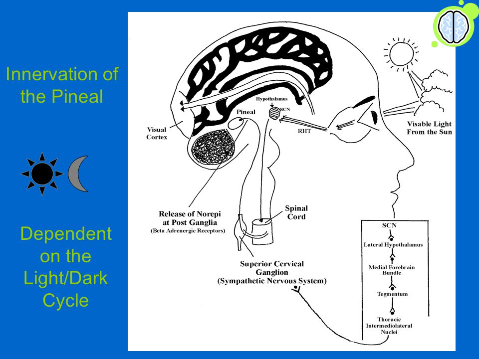 Innervation of the Pineal Dependent on the Light/Dark Cycle