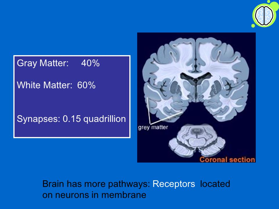 Gray Matter: 40% White Matter: 60% Synapses: 0.15 quadrillion Brain has more pathways: Receptors located on neurons in membrane