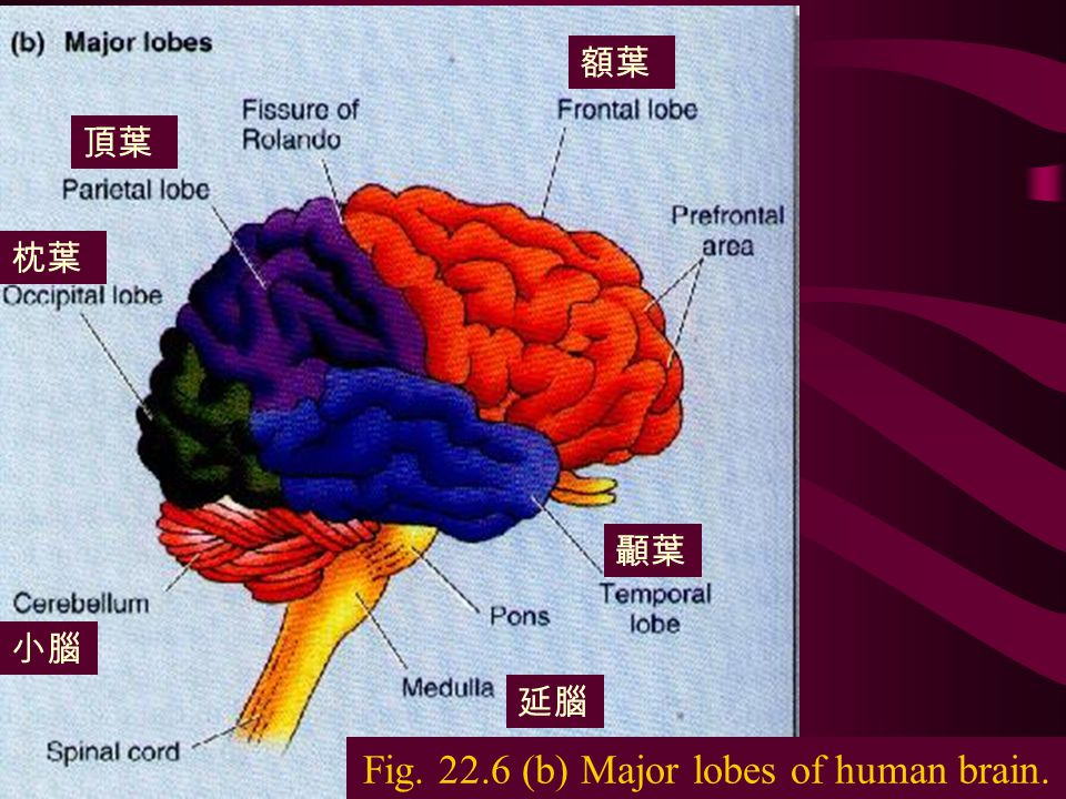 The nervous system9 Fig. 22.6 The human brain in surface view, showing the two halves,, or cerebral hemispheres. 大腦皮層 視丘 橋腦 小腦