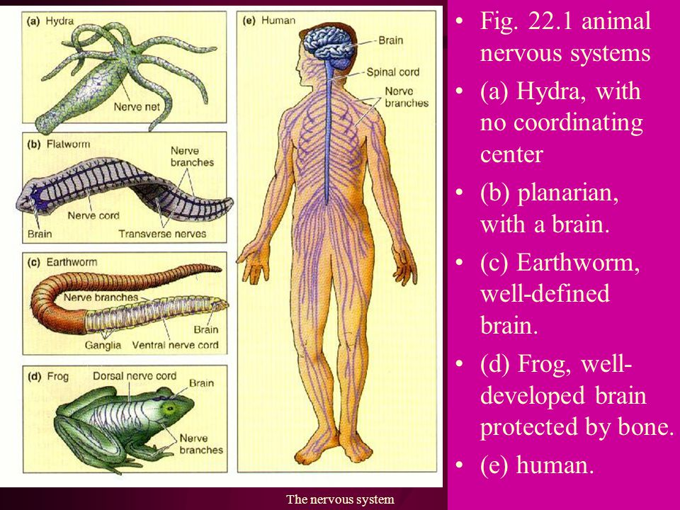 The nervous system22 Fig. 22.12 The autonomic nervous system. 交感神經 副交感神經