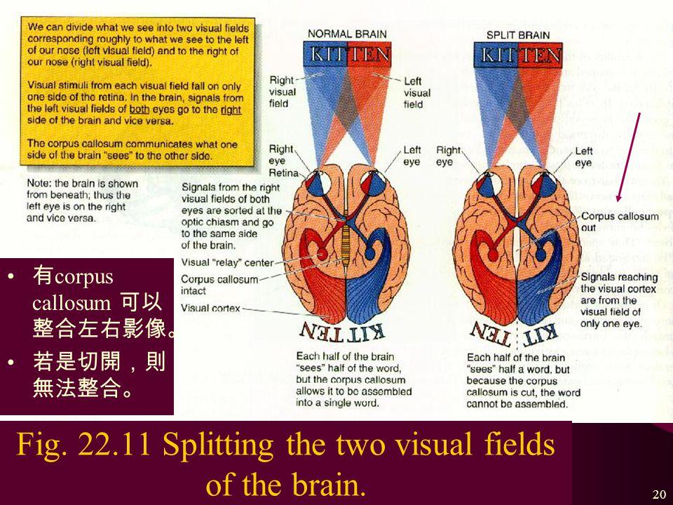 The nervous system19 Fig.
