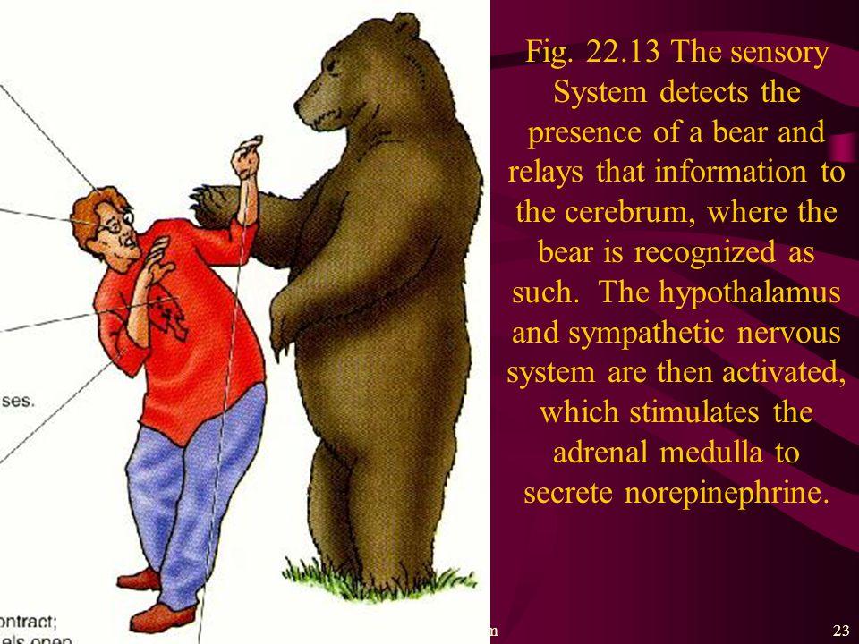 The nervous system22 Fig. 22.12 The autonomic nervous system. 交感神經 副交感神經