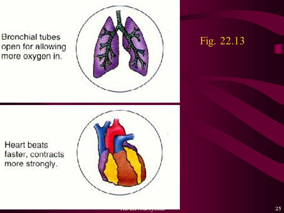 The nervous system24 Fig. 22.13