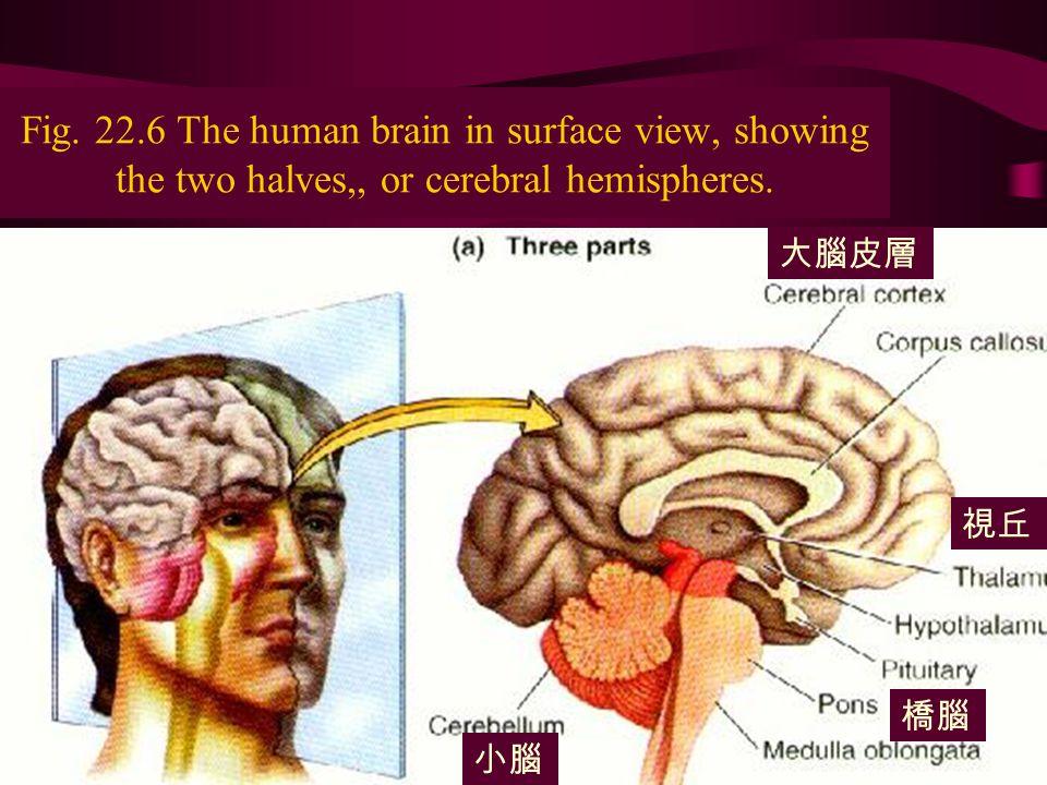 The nervous system8 Fig.