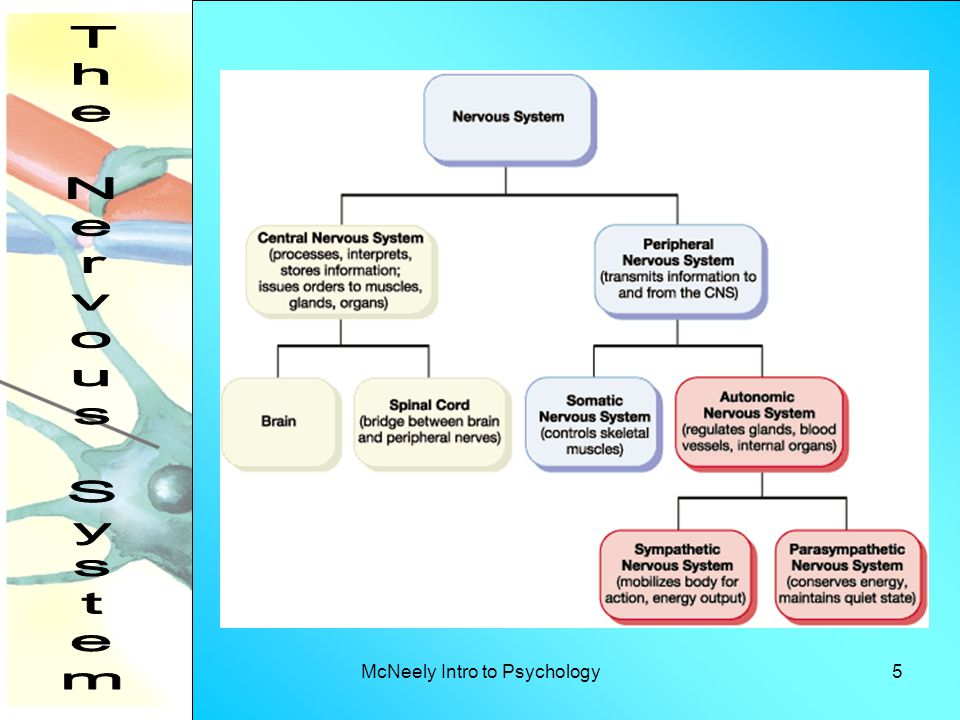 McNeely Intro to Psychology26 Acetylcholine – involved in voluntary movement, learning, memory, and sleep § Too much acetylcholine is associated with depression, and too little in the hippocampus has been associated with dementia.