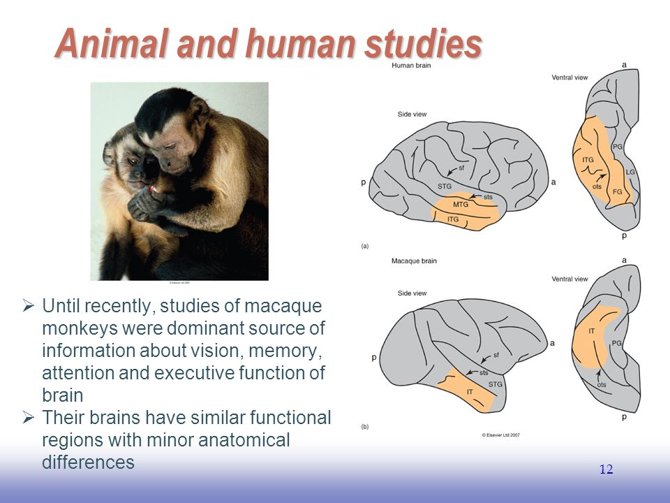 EE141 12 Animal and human studies  Until recently, studies of macaque monkeys were dominant source of information about vision, memory, attention and