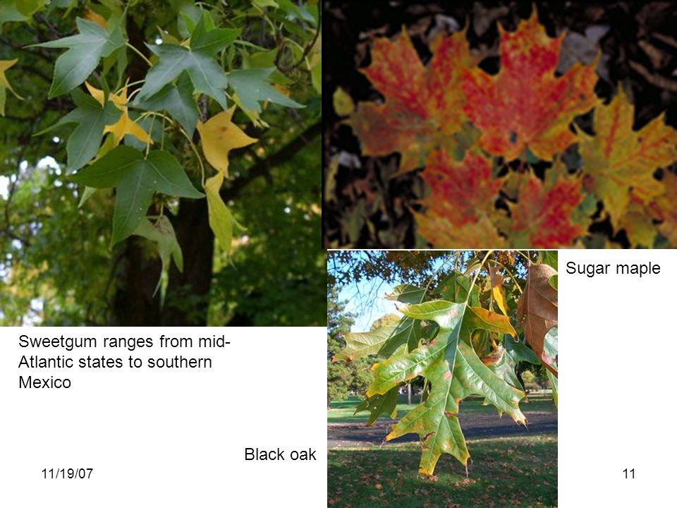 11/19/0711 Sweetgum ranges from mid- Atlantic states to southern Mexico Black oak Sugar maple