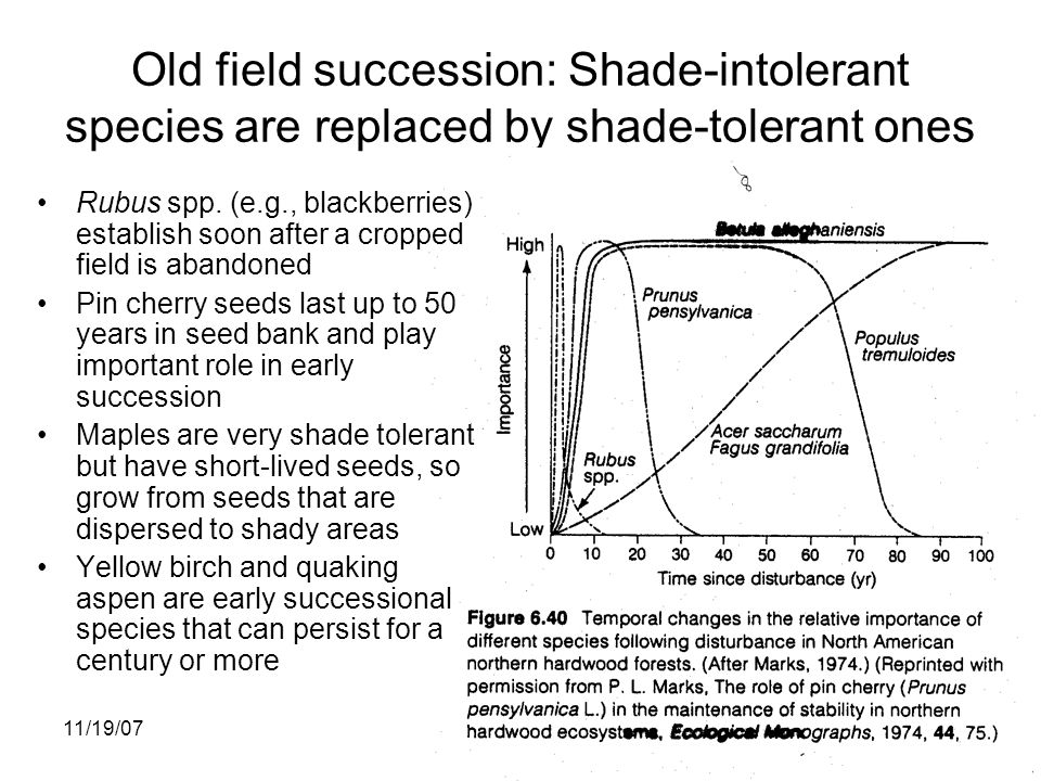 11/19/0719 Old field succession: Shade-intolerant species are replaced by shade-tolerant ones Rubus spp.