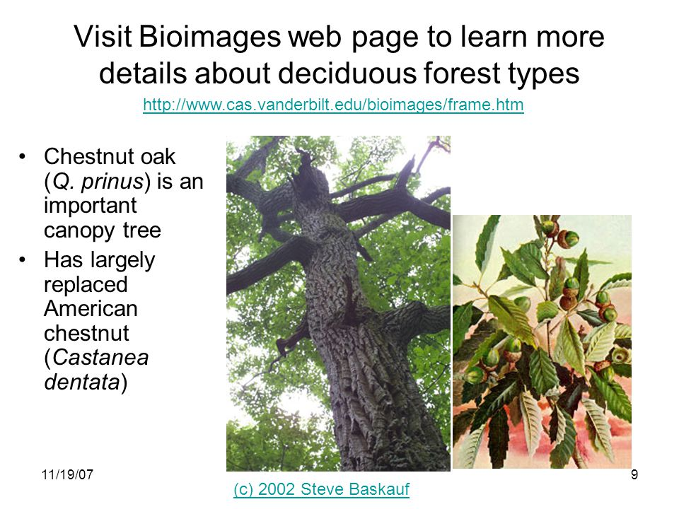 11/19/079 (c) 2002 Steve Baskauf http://www.cas.vanderbilt.edu/bioimages/frame.htm Visit Bioimages web page to learn more details about deciduous forest types Chestnut oak (Q.