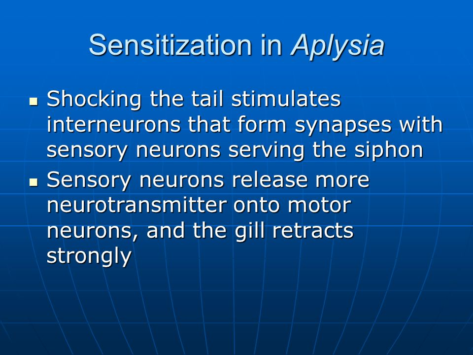 Sensitization in Aplysia Shocking the tail stimulates interneurons that form synapses with sensory neurons serving the siphon Shocking the tail stimulates interneurons that form synapses with sensory neurons serving the siphon Sensory neurons release more neurotransmitter onto motor neurons, and the gill retracts strongly Sensory neurons release more neurotransmitter onto motor neurons, and the gill retracts strongly