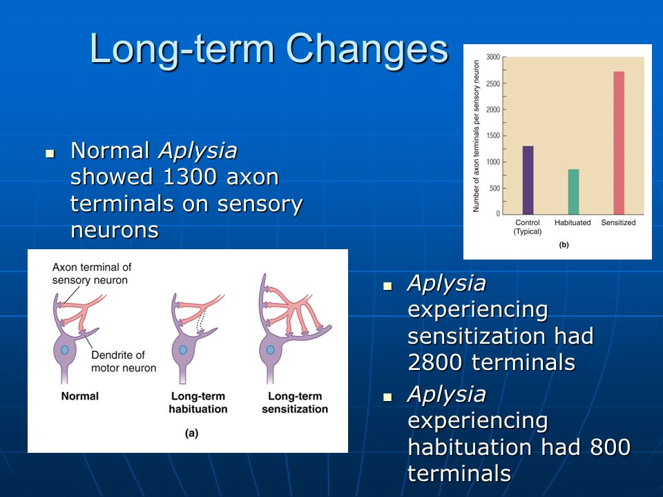 Long-term Changes Normal Aplysia showed 1300 axon terminals on sensory neurons Normal Aplysia showed 1300 axon terminals on sensory neurons Aplysia experiencing sensitization had 2800 terminals Aplysia experiencing sensitization had 2800 terminals Aplysia experiencing habituation had 800 terminals Aplysia experiencing habituation had 800 terminals