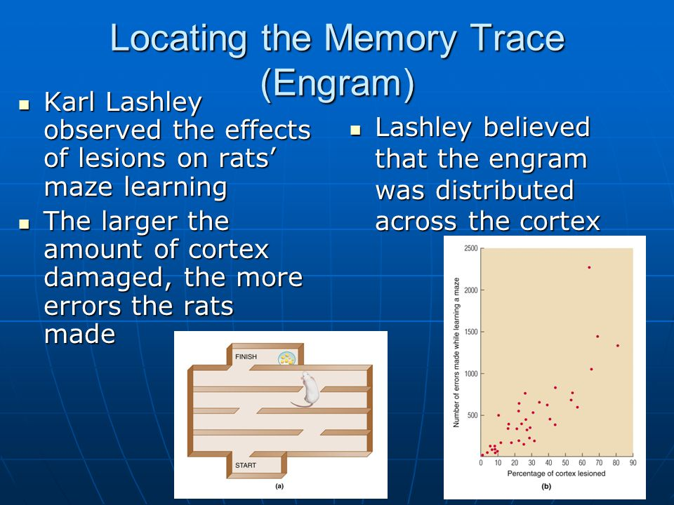 Locating the Memory Trace (Engram) Karl Lashley observed the effects of lesions on rats' maze learning Karl Lashley observed the effects of lesions on rats' maze learning The larger the amount of cortex damaged, the more errors the rats made The larger the amount of cortex damaged, the more errors the rats made Lashley believed that the engram was distributed across the cortex Lashley believed that the engram was distributed across the cortex