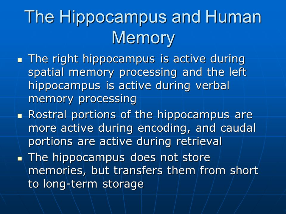 The Hippocampus and Human Memory The right hippocampus is active during spatial memory processing and the left hippocampus is active during verbal memory processing The right hippocampus is active during spatial memory processing and the left hippocampus is active during verbal memory processing Rostral portions of the hippocampus are more active during encoding, and caudal portions are active during retrieval Rostral portions of the hippocampus are more active during encoding, and caudal portions are active during retrieval The hippocampus does not store memories, but transfers them from short to long-term storage The hippocampus does not store memories, but transfers them from short to long-term storage