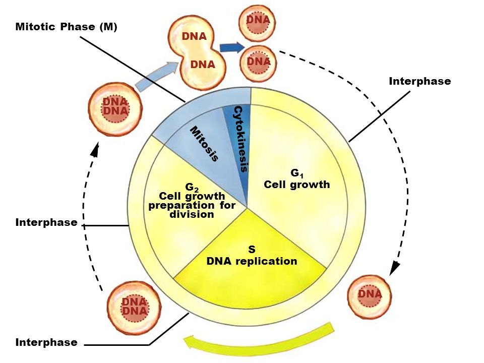 DNA G 1 Cell growth S DNA replication G 2 Cell growth preparation for division Mitosis Cytokinesis Mitotic Phase (M) Interphase