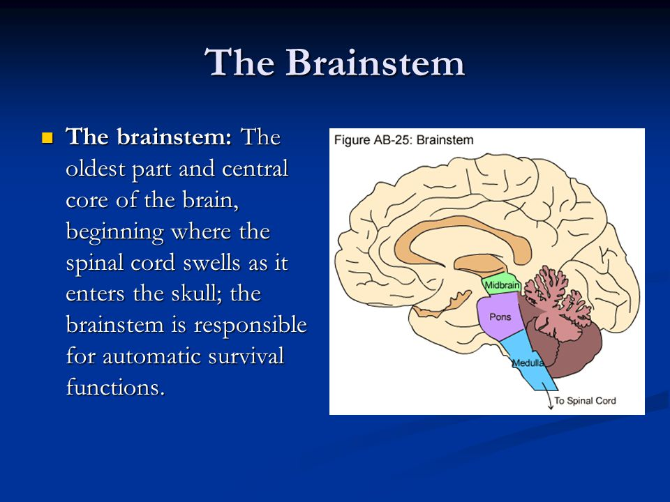 The Brainstem The brainstem: The oldest part and central core of the brain, beginning where the spinal cord swells as it enters the skull; the brainstem is responsible for automatic survival functions.