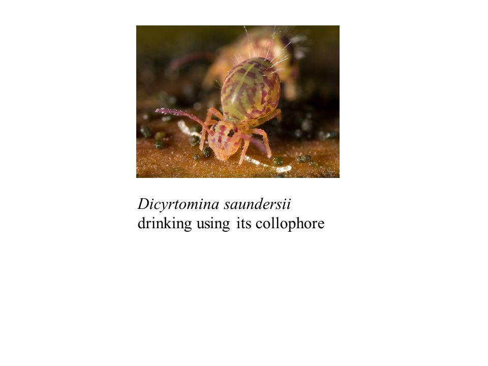 Dicyrtomina saundersii drinking using its collophore