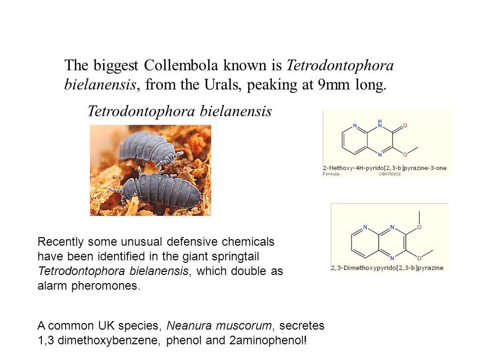 Tetrodontophora bielanensis The biggest Collembola known is Tetrodontophora bielanensis, from the Urals, peaking at 9mm long.