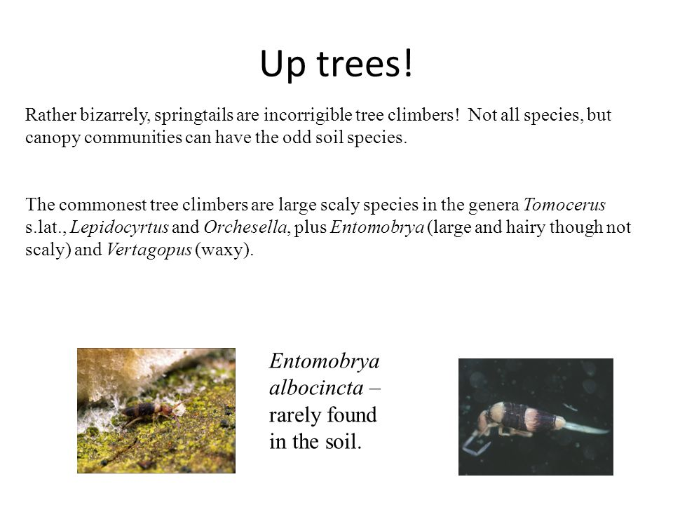 Up trees.Rather bizarrely, springtails are incorrigible tree climbers.
