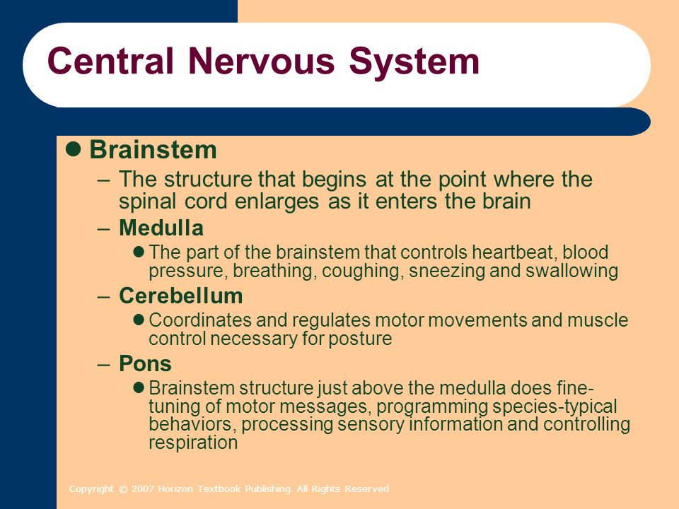 Copyright © 2007 Horizon Textbook Publishing All Rights Reserved Central Nervous System Brainstem –The structure that begins at the point where the spinal cord enlarges as it enters the brain –Medulla The part of the brainstem that controls heartbeat, blood pressure, breathing, coughing, sneezing and swallowing –Cerebellum Coordinates and regulates motor movements and muscle control necessary for posture –Pons Brainstem structure just above the medulla does fine- tuning of motor messages, programming species-typical behaviors, processing sensory information and controlling respiration