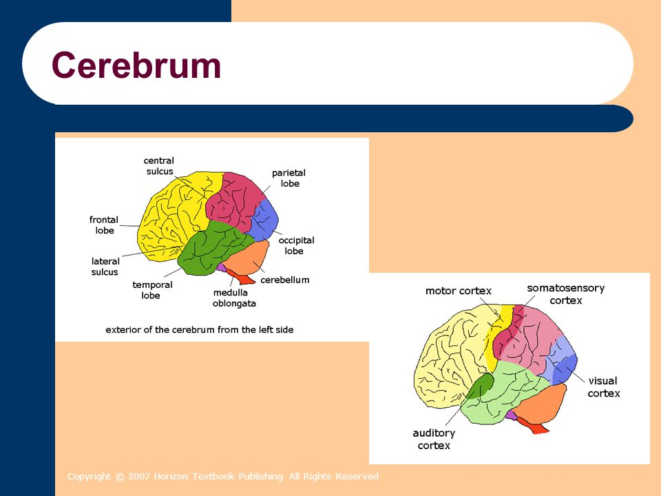 Copyright © 2007 Horizon Textbook Publishing All Rights Reserved Cerebrum