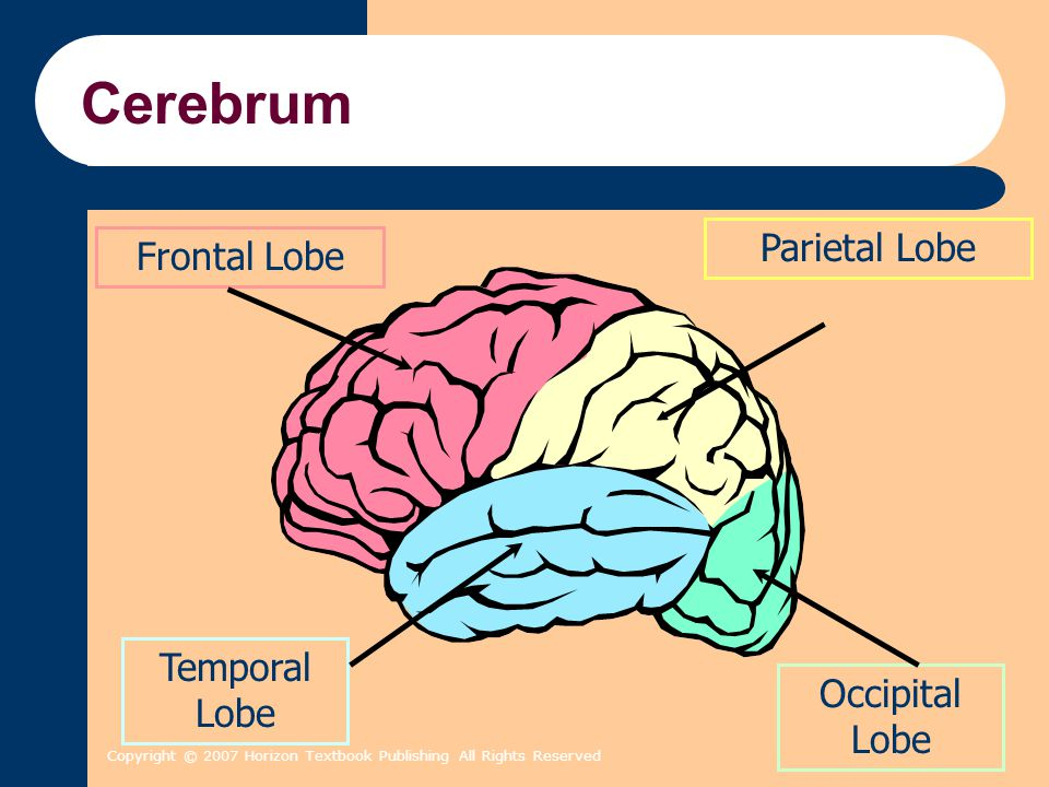 Copyright © 2007 Horizon Textbook Publishing All Rights Reserved Cerebrum Frontal Lobe Parietal Lobe Temporal Lobe Occipital Lobe