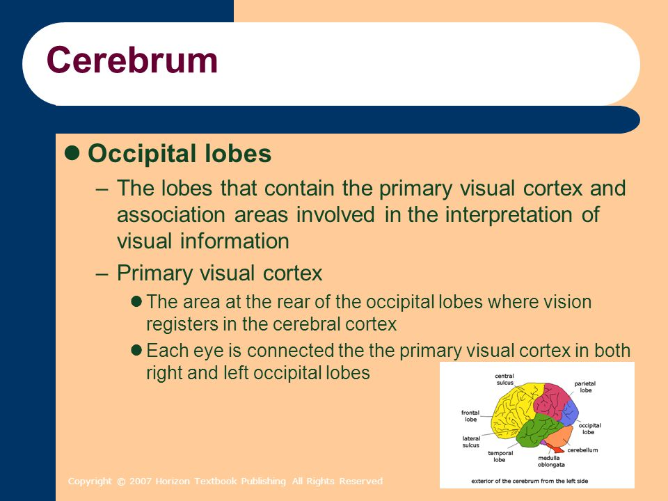 Copyright © 2007 Horizon Textbook Publishing All Rights Reserved Cerebrum Occipital lobes –The lobes that contain the primary visual cortex and associ