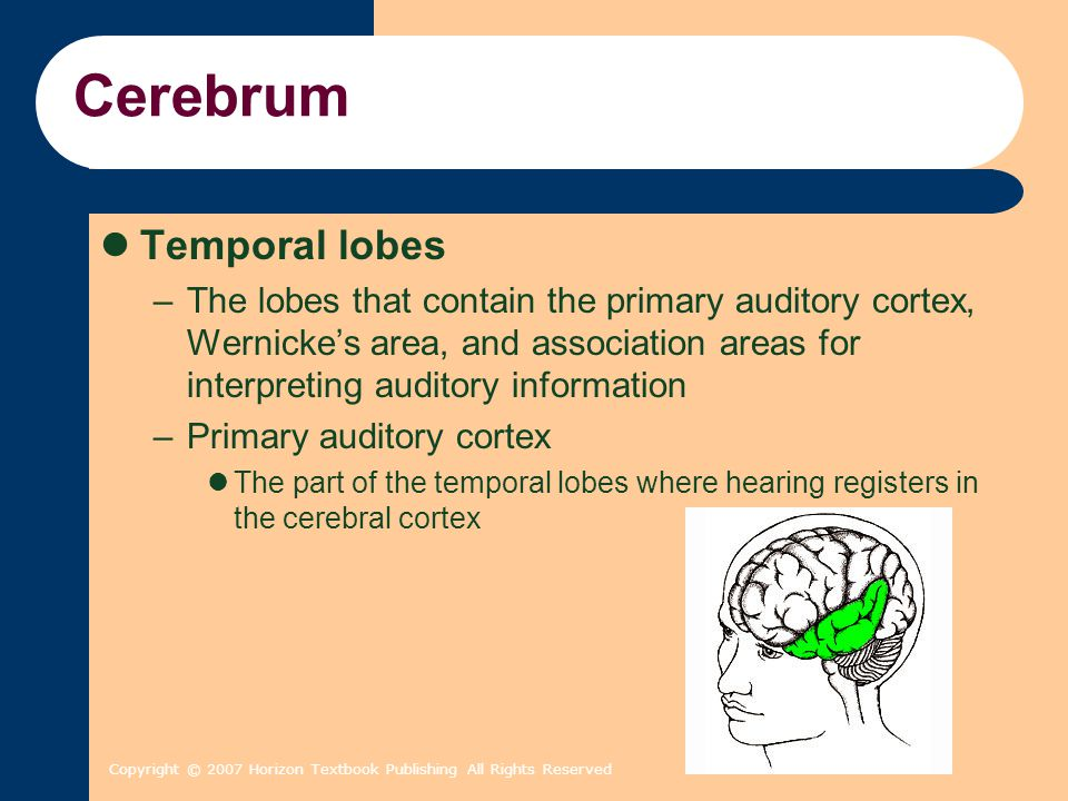 Copyright © 2007 Horizon Textbook Publishing All Rights Reserved Cerebrum Temporal lobes –The lobes that contain the primary auditory cortex, Wernicke