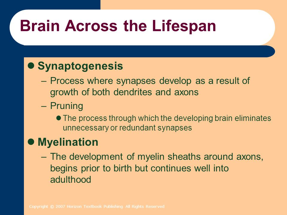 Copyright © 2007 Horizon Textbook Publishing All Rights Reserved Brain Across the Lifespan Synaptogenesis –Process where synapses develop as a result of growth of both dendrites and axons –Pruning The process through which the developing brain eliminates unnecessary or redundant synapses Myelination –The development of myelin sheaths around axons, begins prior to birth but continues well into adulthood