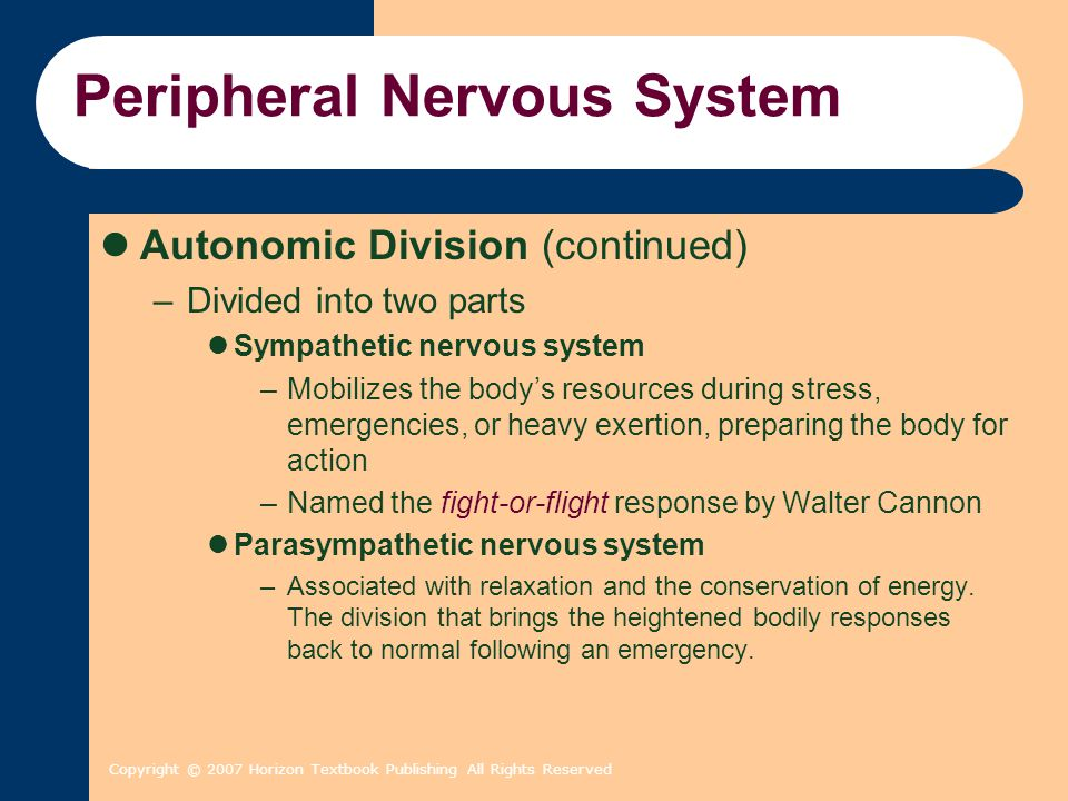 Copyright © 2007 Horizon Textbook Publishing All Rights Reserved Peripheral Nervous System Autonomic Division (continued) –Divided into two parts Symp